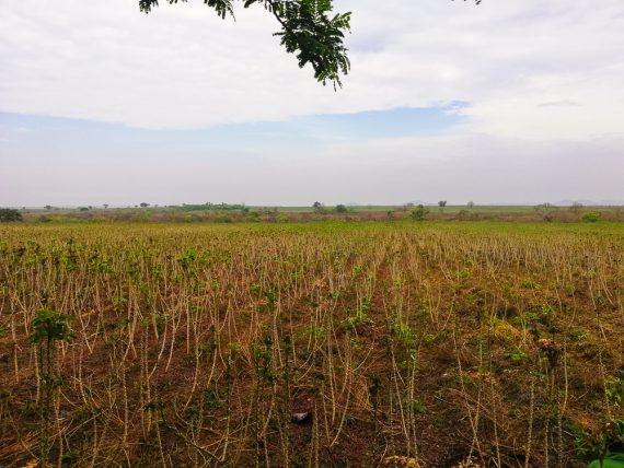 Cassava Stem from Farm Square Nigeria