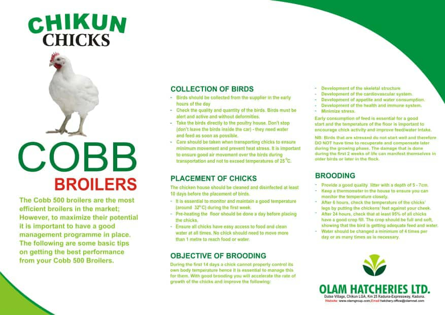 Commercial Day Old Chicks (Cobb 500 Broilers) - OLAM BRAND