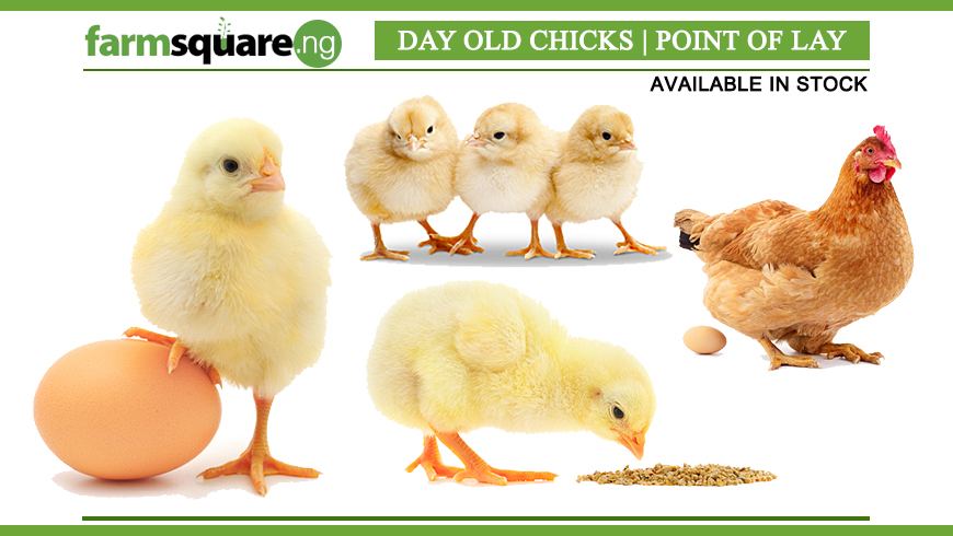Day-Old-Chicks-Point-of-Lay-from-Farmsquare-Nigeria
