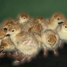 nigeria Local Turkeys