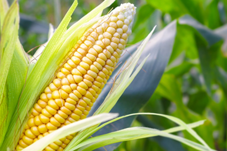 Lagos State Partners With Maize Farmers