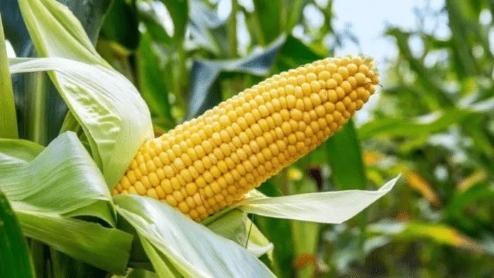 New Tela Maize Variety Approved For Cultivation – FG